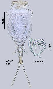 Image courtesy of ANSP (Jersabek et al. 2003) <a href='../../Reference/Index/15798' target='_blank'>[Ref.15798]</a>; female lorica (dorsal view), and trophi