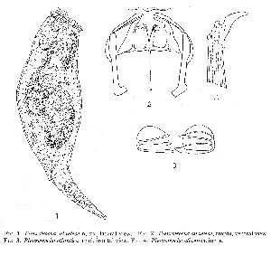 Myers, F J (1936): Transactions of the American Microscopical Society 55 p.428, pl.53, figs.1-4